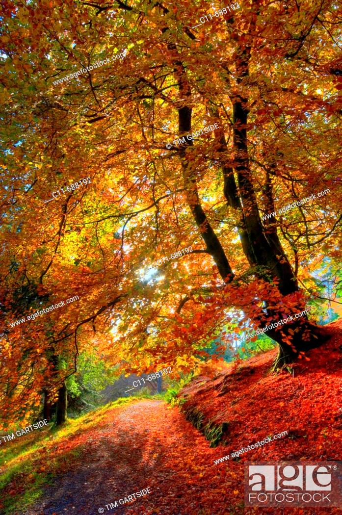 Imagen: Beautiful single autumn beech leaning in golden colours. Loughrigg Tarn. Lake District. Cumbria. England.