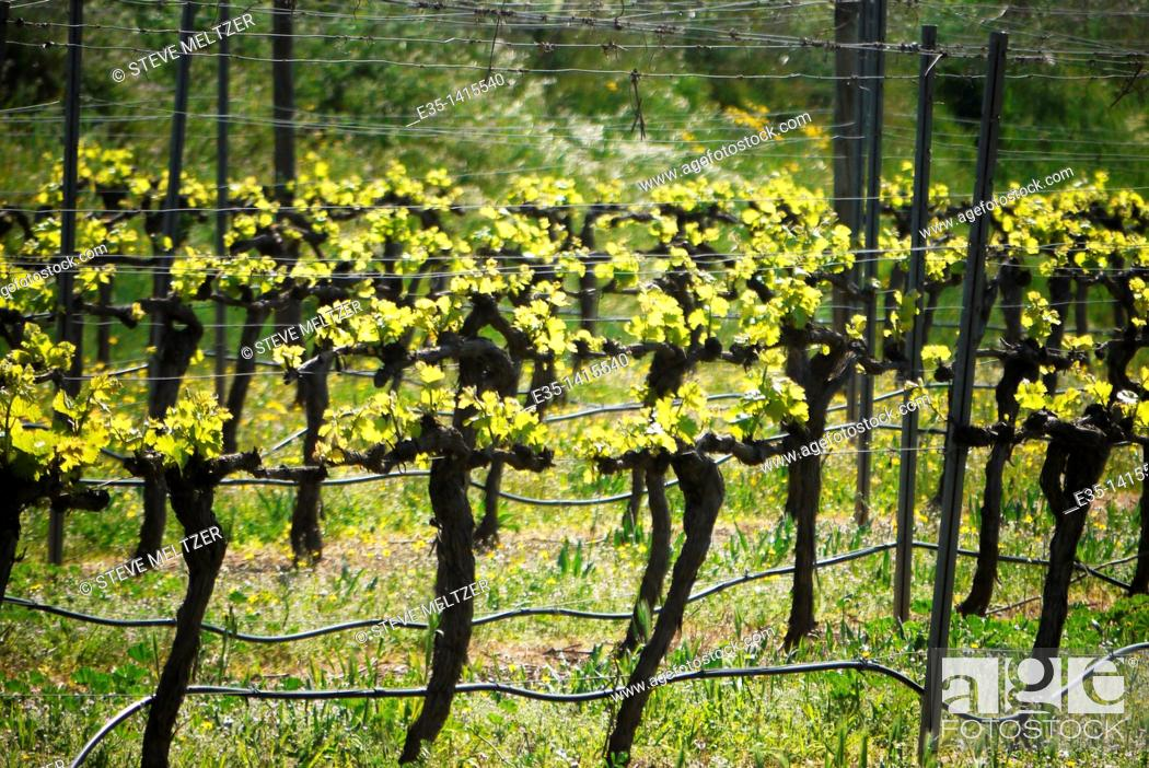 Stock Photo: After a weeks of Spring warmth and sunshine, grape vines throughout the Herault of Southern France show new leaves.