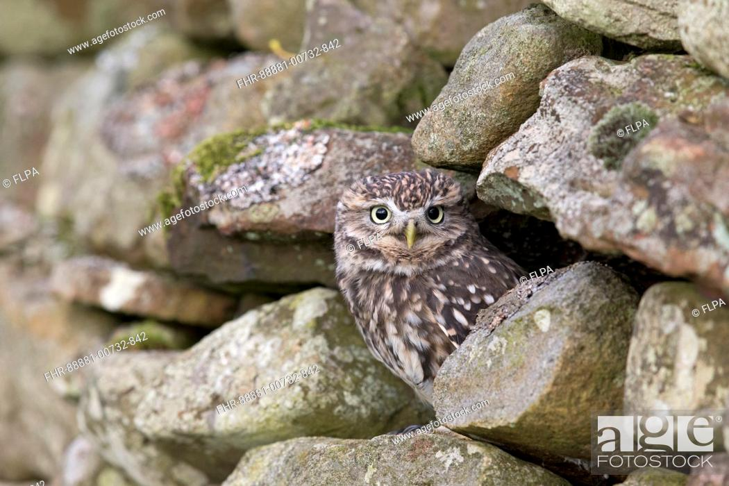 Stock Photo: Little Owl (Athene noctua) adult, perched on stone wall, Peak District, Cumbria, England, November, controlled subject.