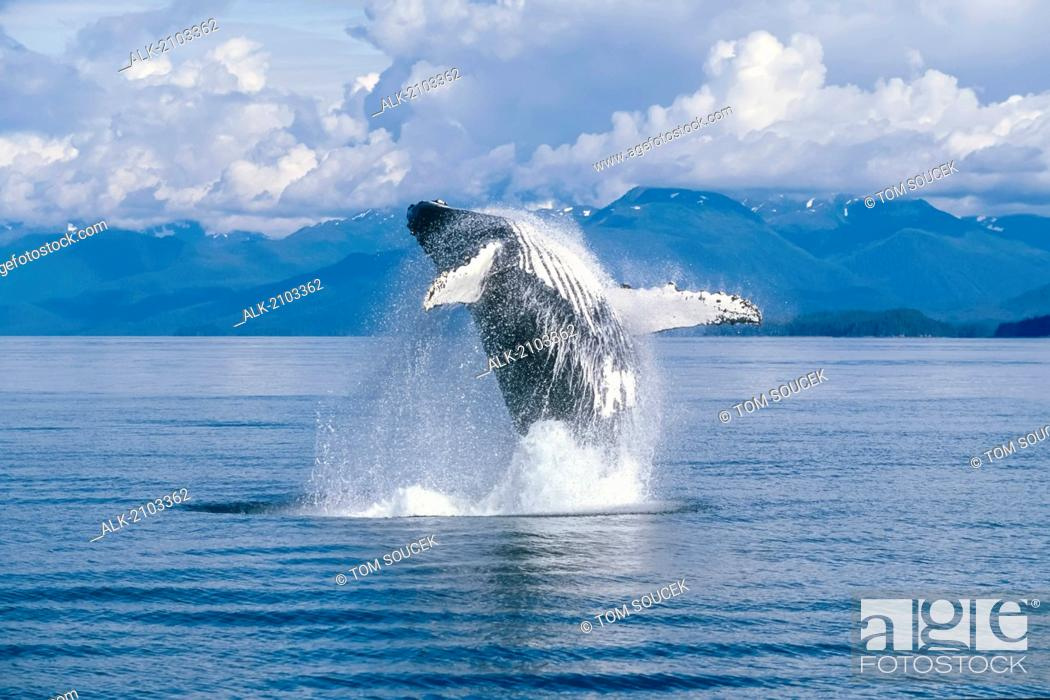 Stock Photo: View Of A Humpback Whale Breaching In Frederick Sound, Tongass National Forest, Southeast Alaska, Summer.