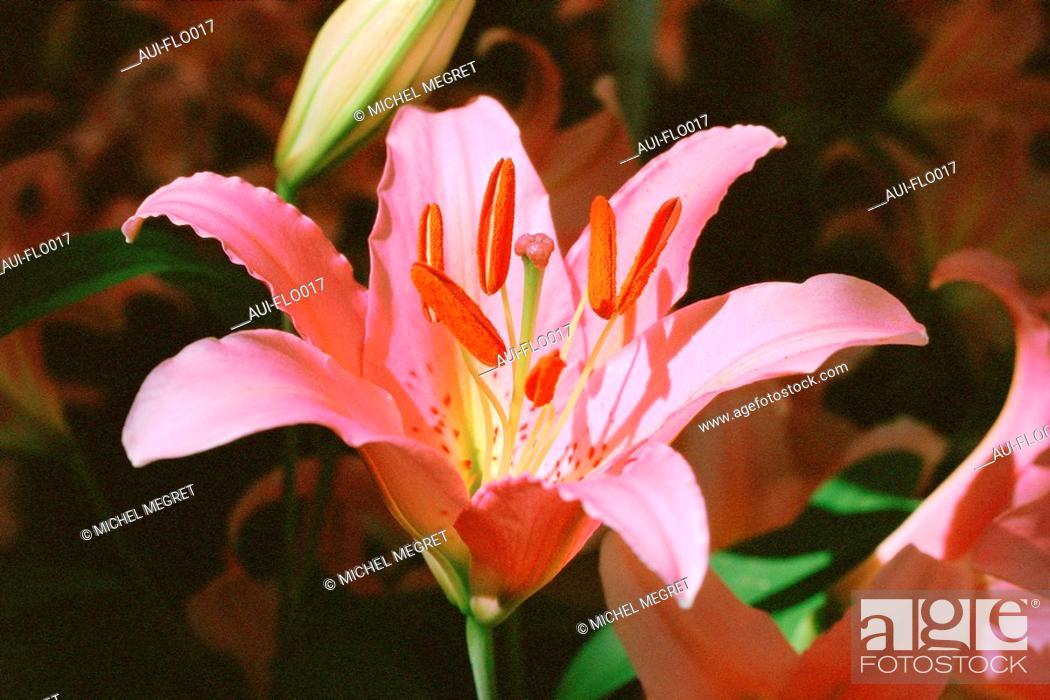 Stock Photo: Lilium - Lily.