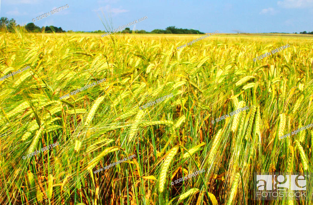 Stock Photo: Barley field in landscape in summer in Denmark, Scandinavia, Northern Europe. (Hordeum vulgare).