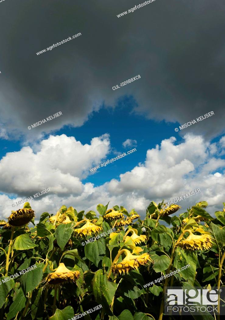 Stock Photo: Drooping sunflowers under cloud, Damme, West Flanders, Belgium.