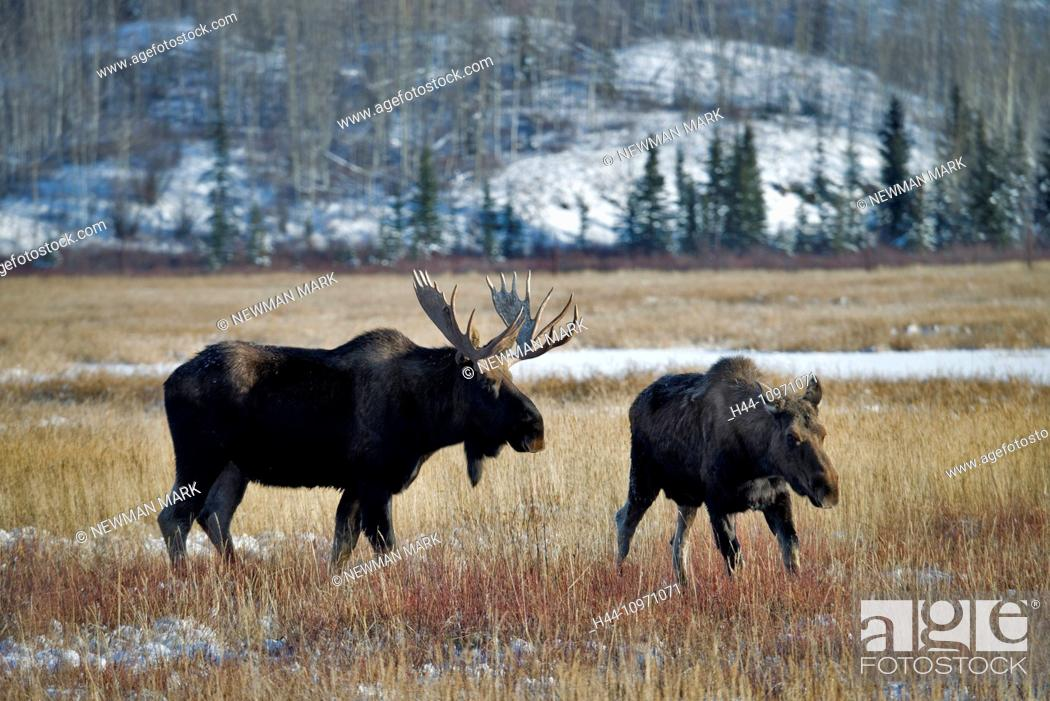 Stock Photo: moose, animal, alces alces, Yukon, wildlife, preserve, Canada.