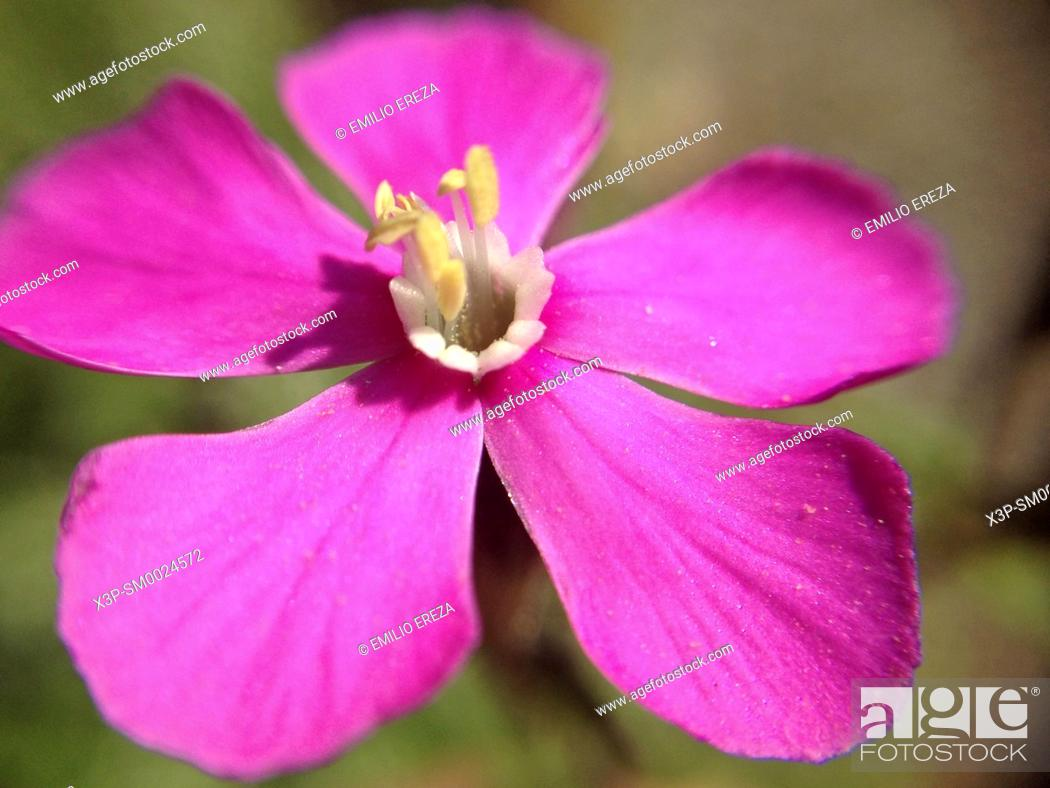 Stock Photo: Macro of Silene flower.