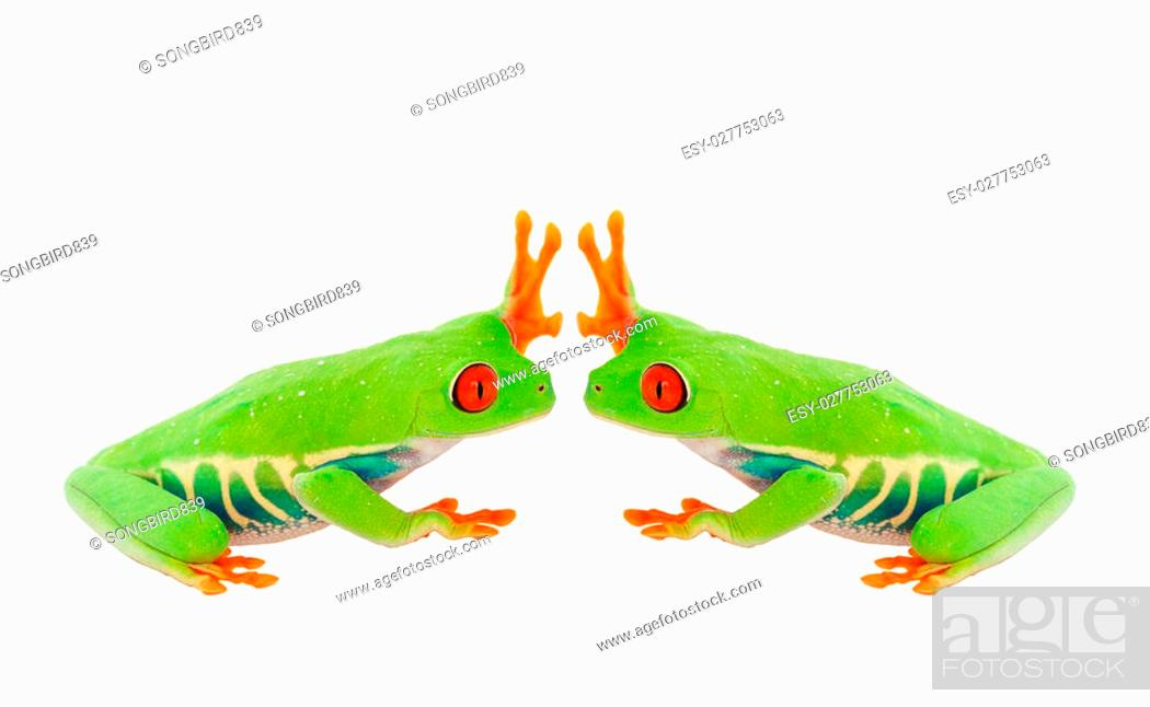 Stock Photo: Two Red-Eyed Tree Frogs give each other the high five. Shot on white background.