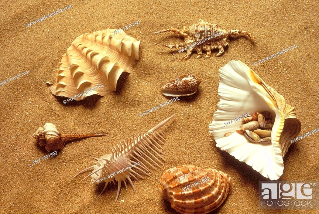 Stock Photo: Range of univallve shell types lying on the sand at the beach including simple conch,spider conch,cone,pecten scallop,helmet and spindle.