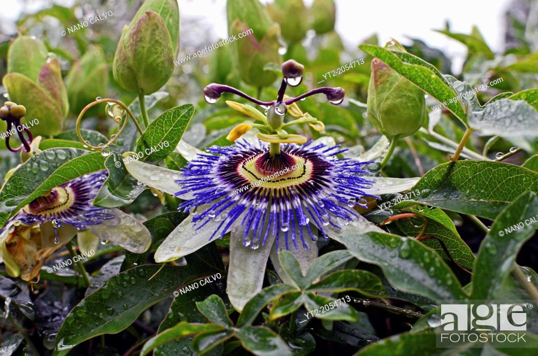 Stock Photo: Passion Flower (Passiflora) in Asturias, Spain.