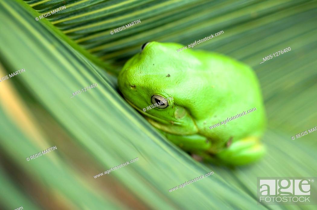 Stock Photo: An Australian Green Tree Frog in Darwin, In the Northern Territory of Australia.