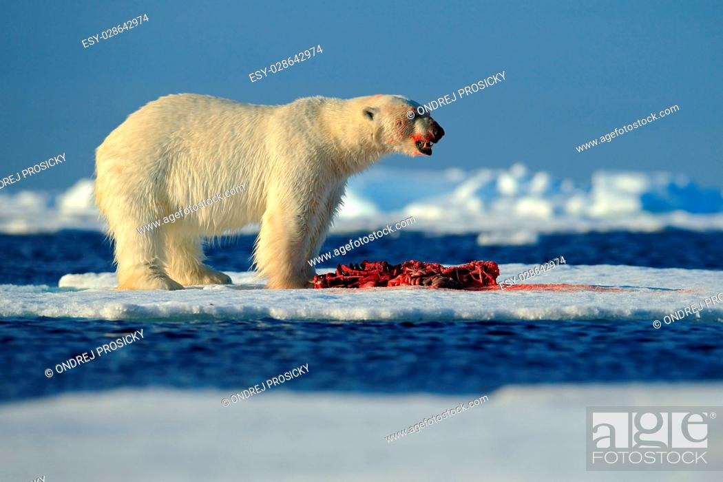 Stock Photo: Polar Bear.
