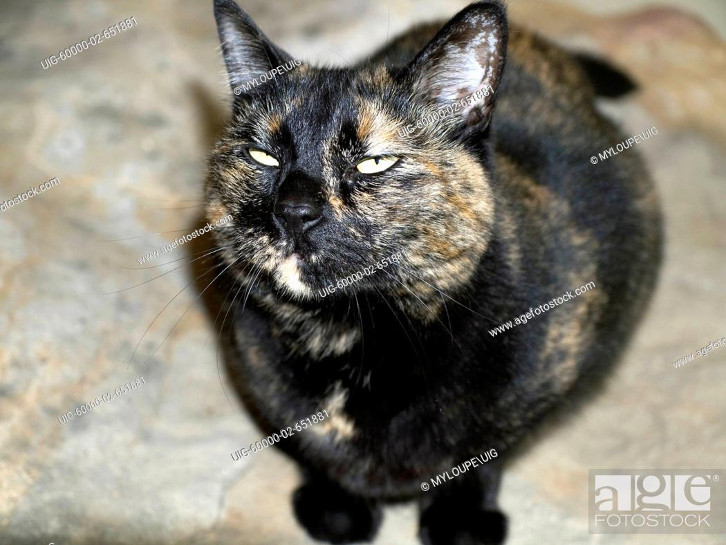 Stock Photo: Tortoiseshell Calico cat with funny expression.