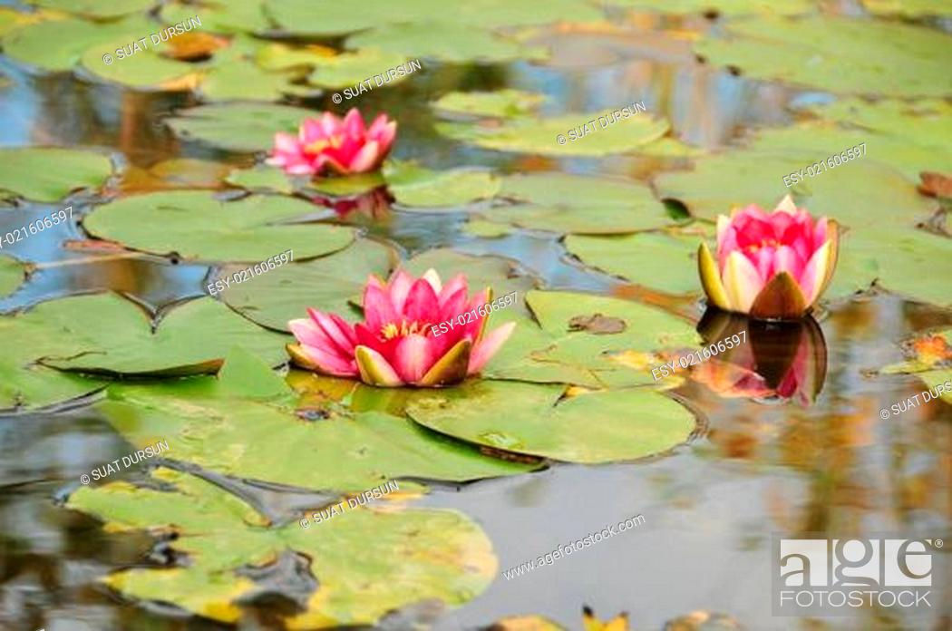 Stock Photo: Water Lily.