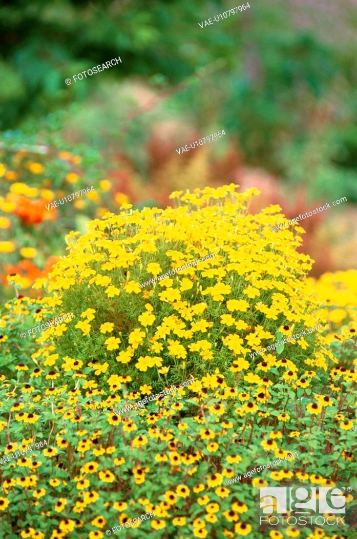Stock Photo: Yellow Flowers.