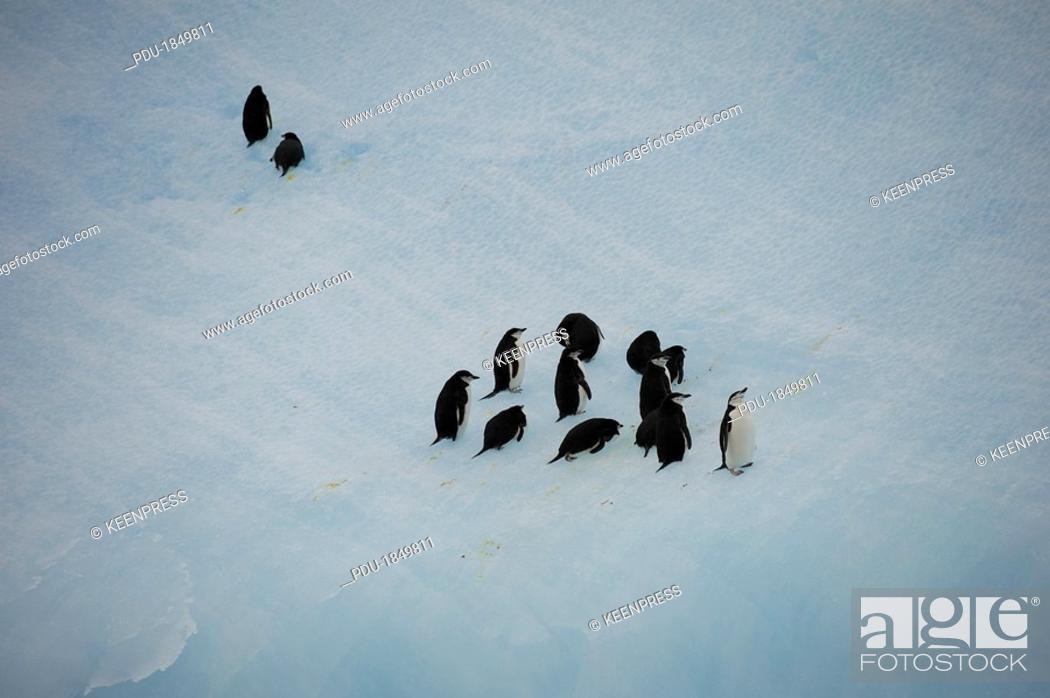 Stock Photo: Chinstrap Penguins Pygoscelis antarctica walk up steep iceberg.