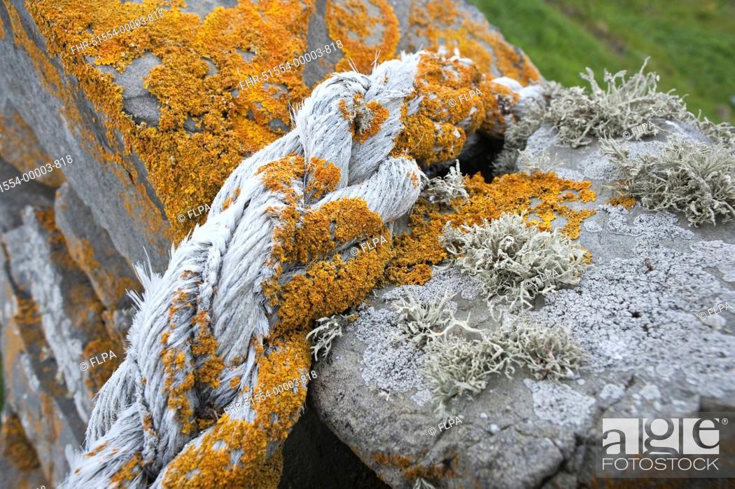 Stock Photo: Orange Sea Lichen Caloplaca marina and Sea Ivory Lichen Ramalina siliquosa growing on rope and drystone wall, Fair Isle, Shetland Islands, Scotland, june.