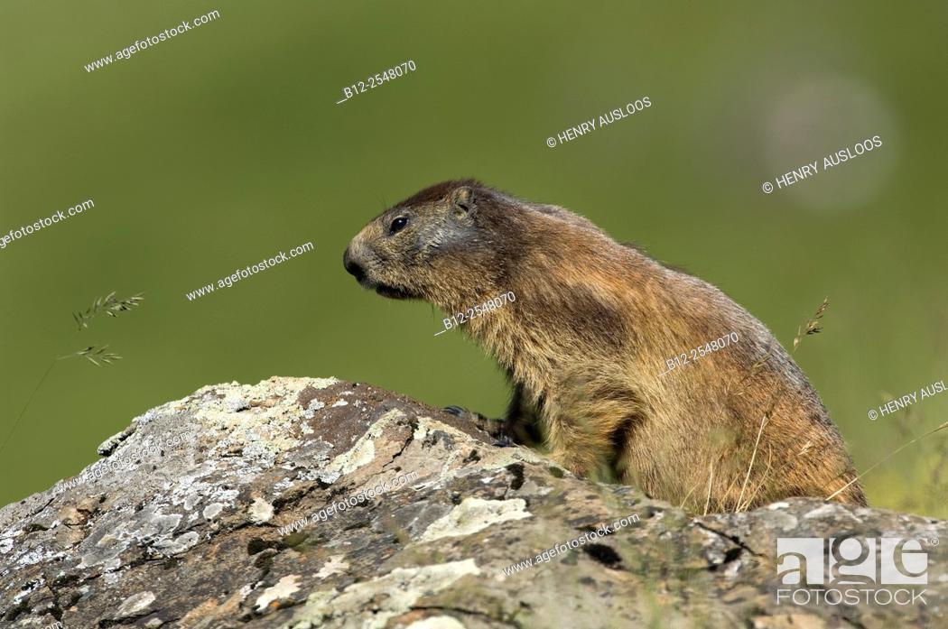Stock Photo: Alpine Marmot (Marmota marmota), France.