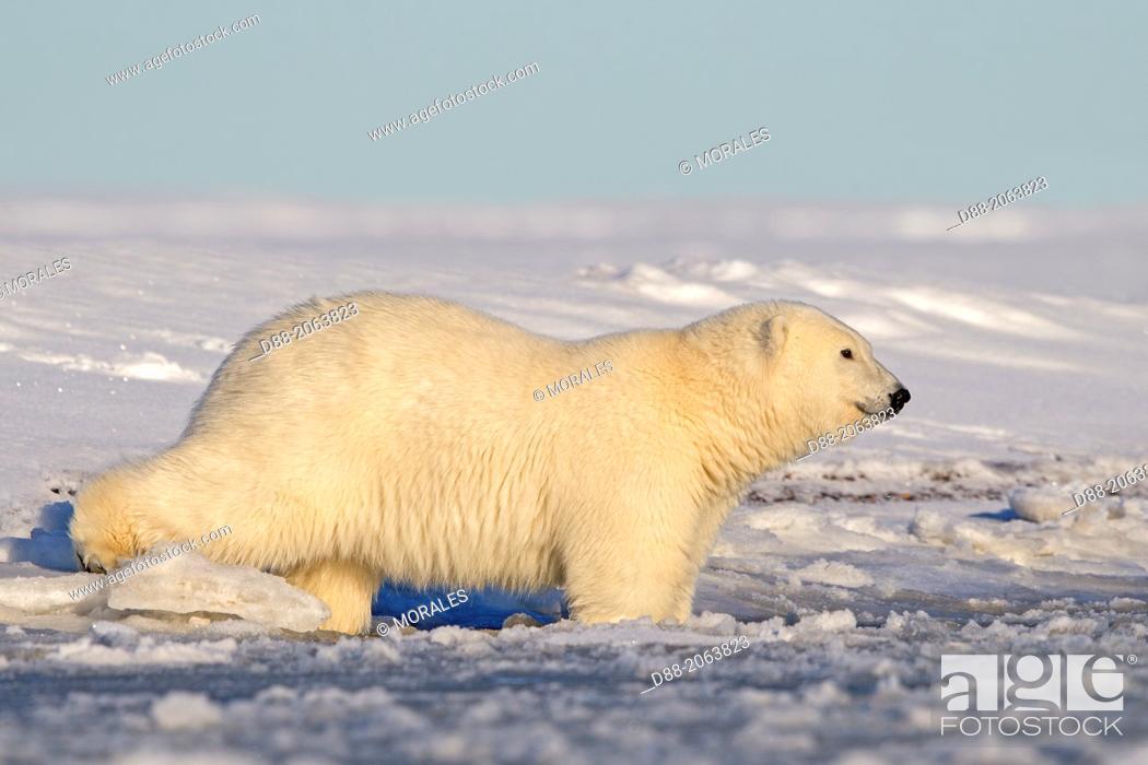 Stock Photo: United States , Alaska , Arctic National Wildlife Refuge , Kaktovik , One sub adult polar bear , in slush ice along a barrier island outside Kaktovik, Alaska.