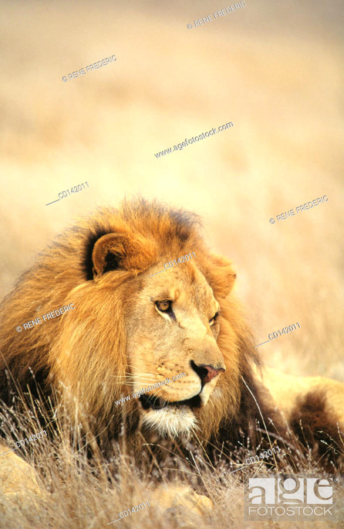 Stock Photo: Lion (Panthera leo). Africa.