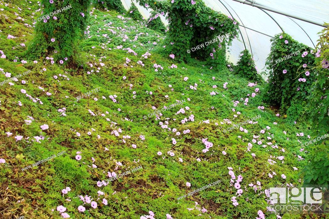 Stock Photo: Lavender Garden, Cameron Highland, Pahang, Malaysia.