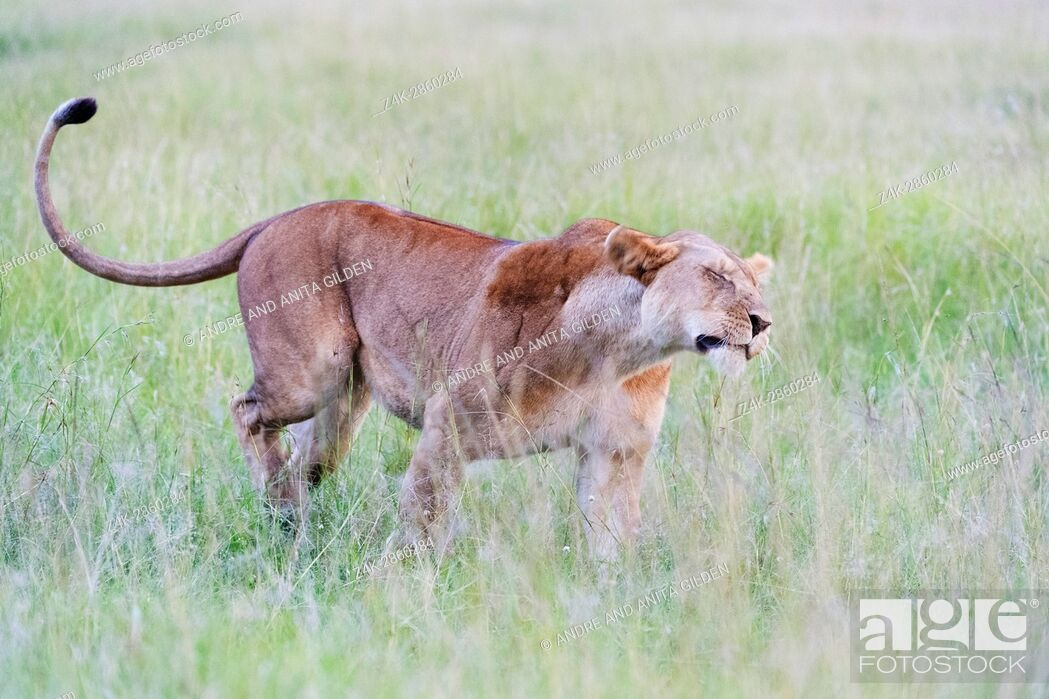Stock Photo: Lioness (Panthera leo) shaking of water on the savanna, Maasai Mara national reserve, Kenya.