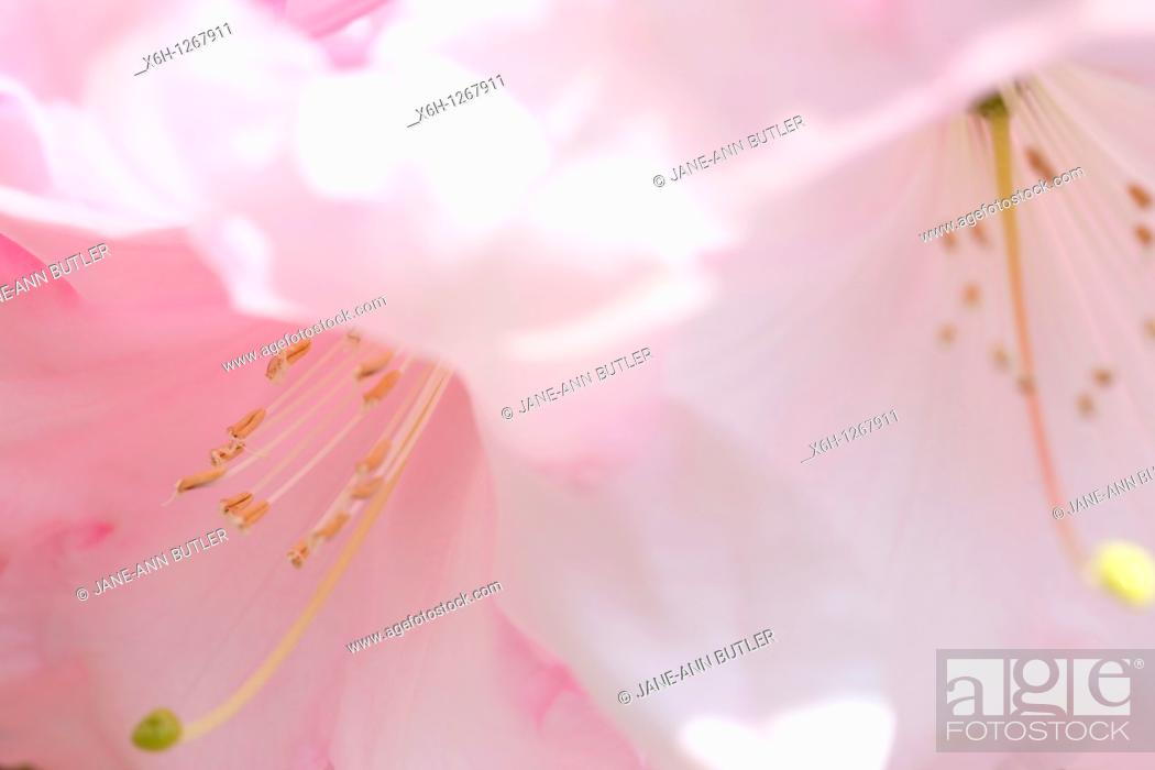 Stock Photo: Stunningly Beautiful Blush Pink Rhododendron Blooms.
