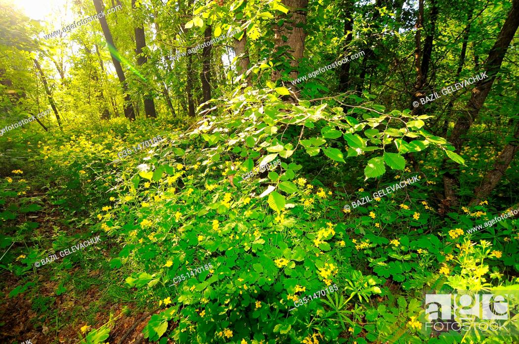 Stock Photo: greater celandine in wood.