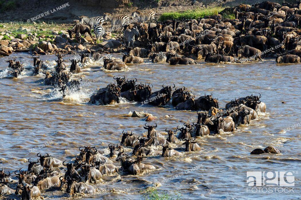 Stock Photo: Blue wildebeest or common wildebeest, white-bearded wildebeest or brindled gnu (Connochaetes taurinus) crossing the Mara River.