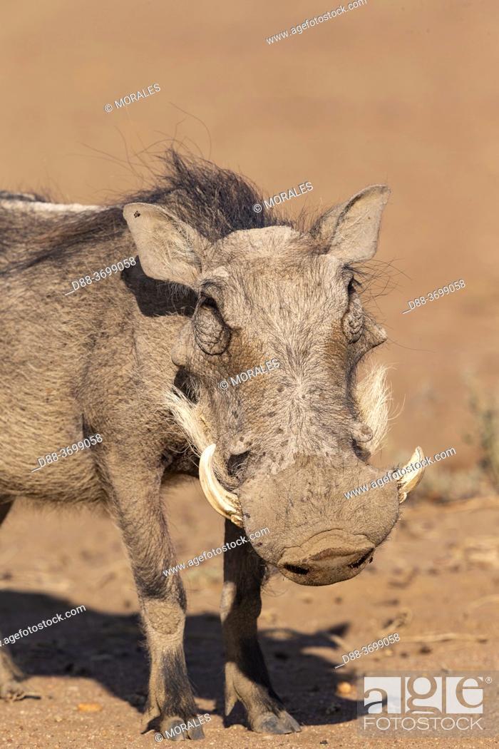 Photo de stock: Africa, Namibia, Private reserve, Warthog (Phacochoerus africanus), .