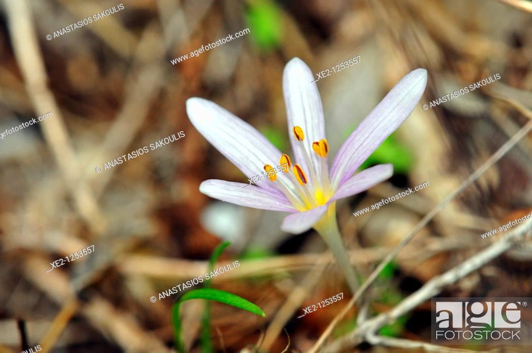 Stock Photo: Colchicum pusillum, Crete.