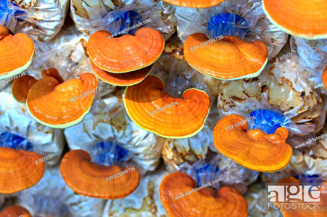 Photo de stock: mushroom Ganoderma lucidum in the mushroom farm.