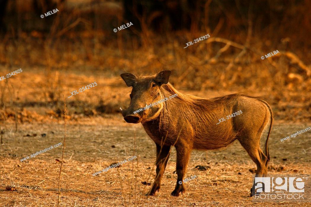Stock Photo: Warthog, Phacochoerus aeethiopicus kneeling to feed. Mana Pools National Park. Zimbabwe.