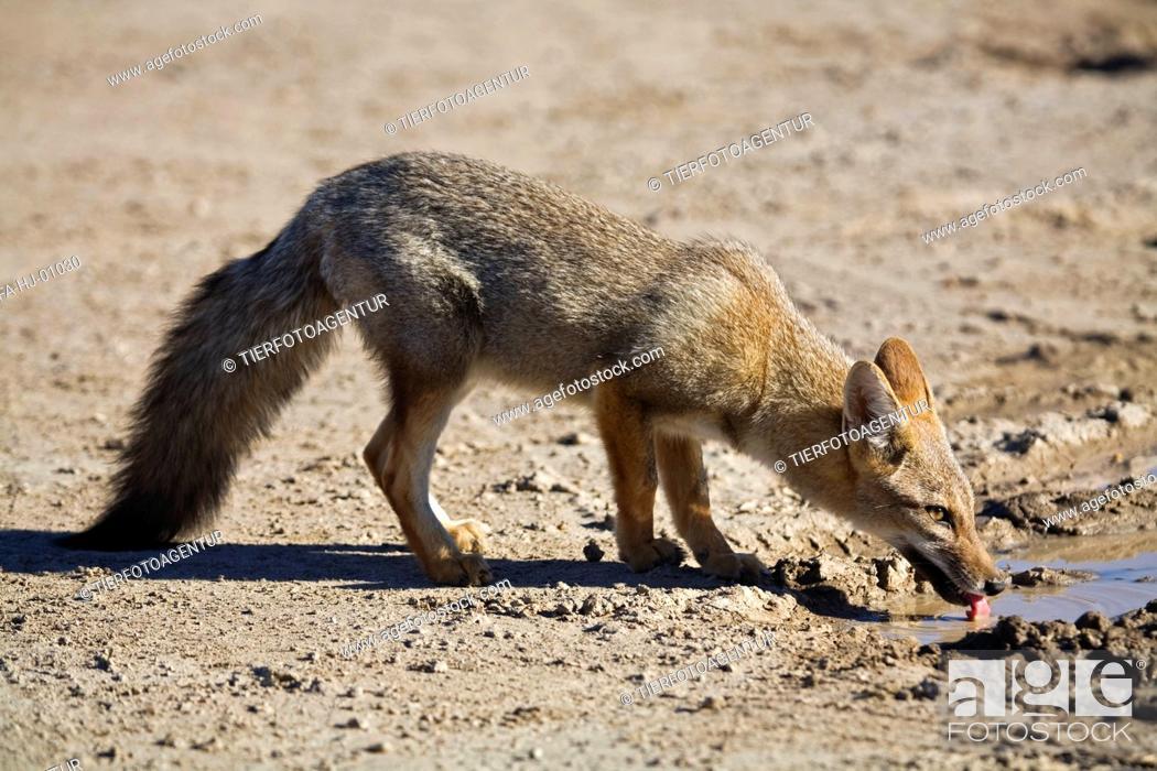 Stock Photo: drinking Argentine fox.
