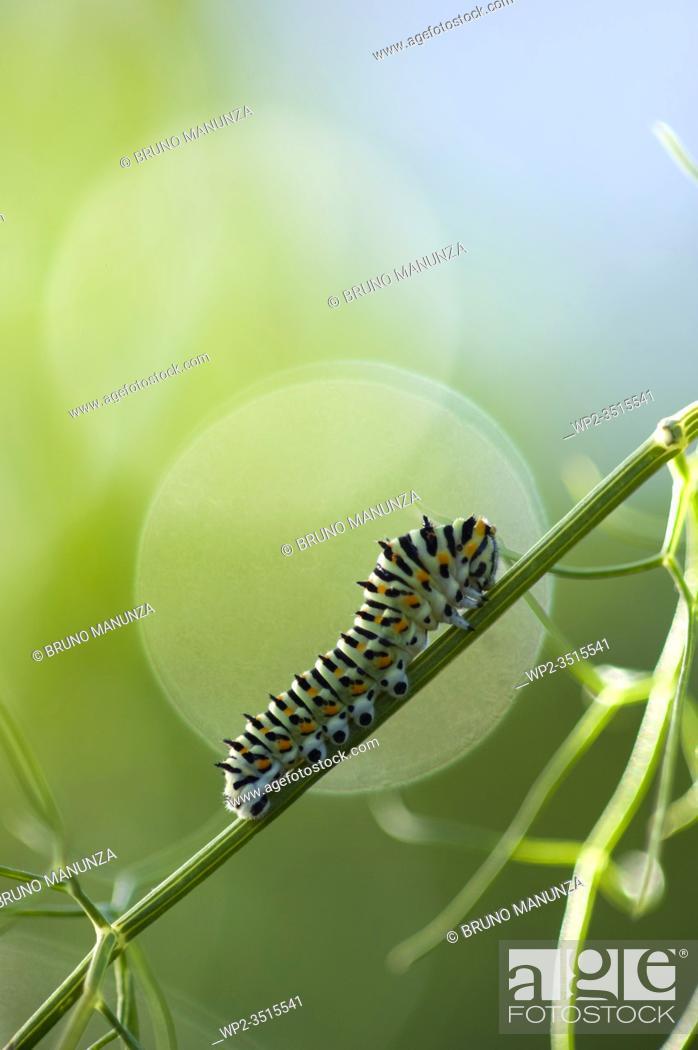 Stock Photo: Caterpillar Swallowtail butterfly (Papilio machaon) Sassari, SS, Sardegna, Italy.