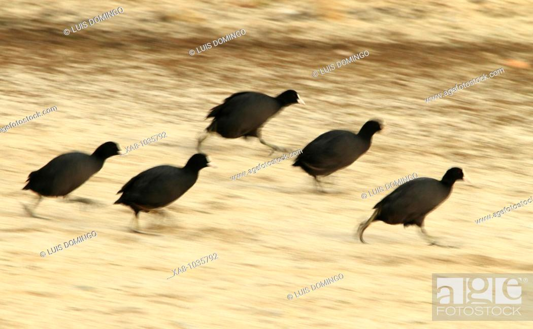 Stock Photo: Coots (Fulica sp.).