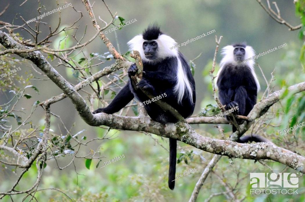Stock Photo: Eastern black and white colobus monkey (Colobus guereza) Nyunguwe National Park, Rwanda, Africa.