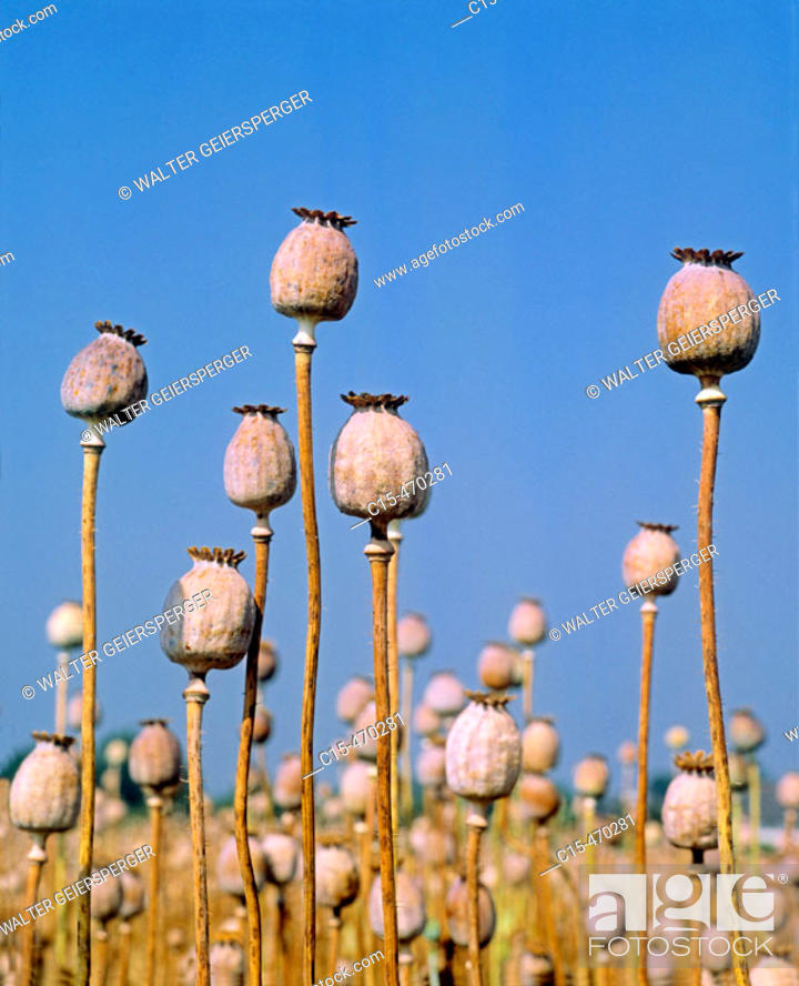 Stock Photo: Poppy capsules.