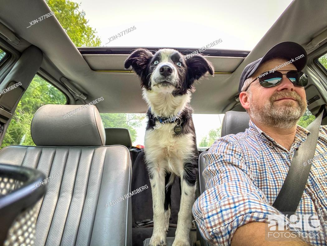 Stock Photo: Man driving car with Border Collie in backseat, Fallston, MD.