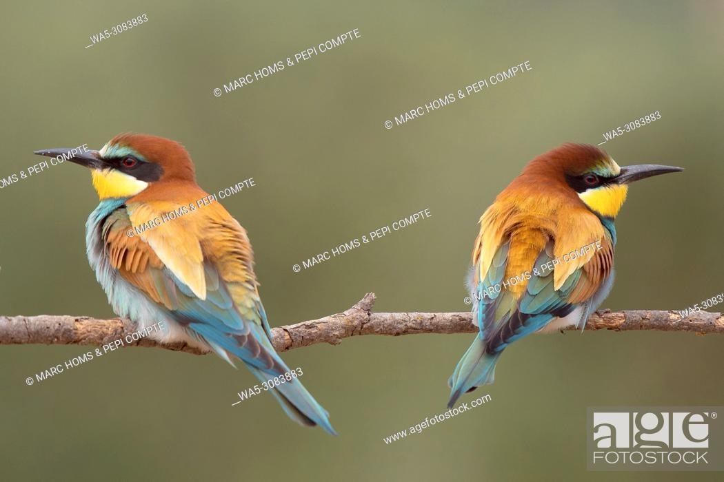 Stock Photo: European Bee Eaters pair posed on a trunk seeing oposite sides in Garrotxa, catalonia, Spain.