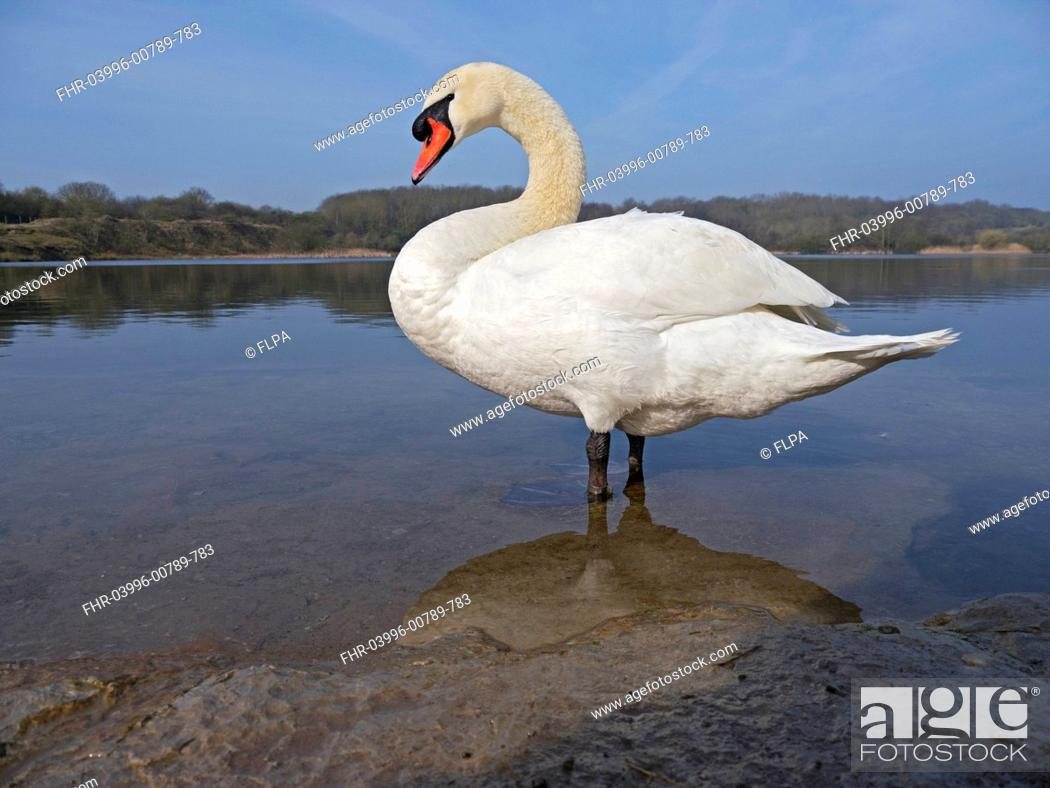 Stock Photo: Mute Swan Cygnus olor adult, standing in shallow water at edge of lake, Glamorgan, Wales, march.