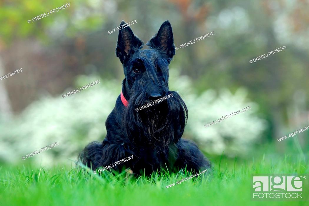 Stock Photo: Scottish terrier.