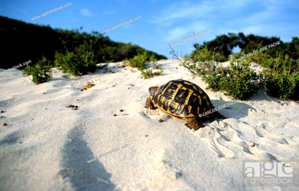Imagen: Hermann's Tortoise (Testudo hermanni). Majorca, Balearic Islands. Spain.