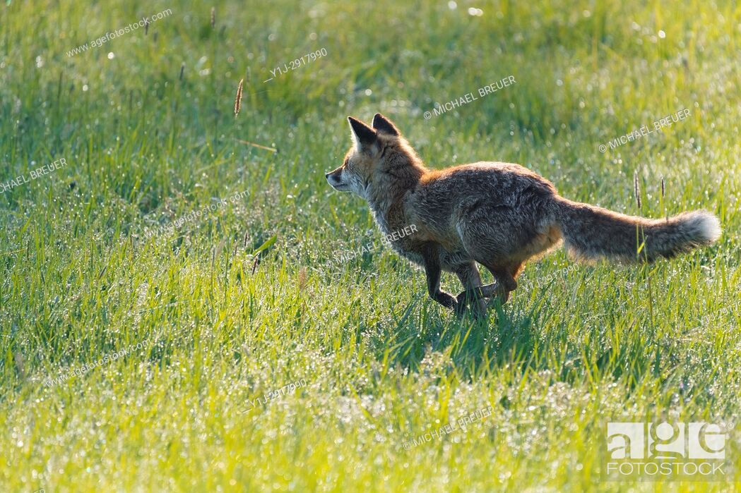 Stock Photo: Red Fox (Vulpes vulpes) on Meadow, Springtime, Hesse, Germany, Europe.