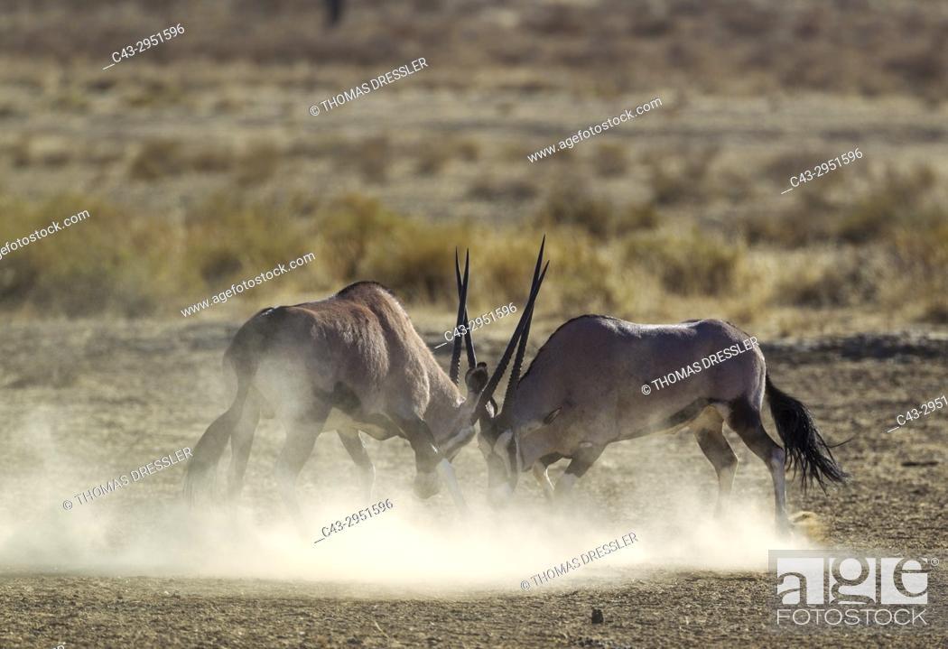 Imagen: Gemsbok (Oryx gazella). Fighting males. Kalahari Desert, Kgalagadi Transfrontier Park, South Africa.