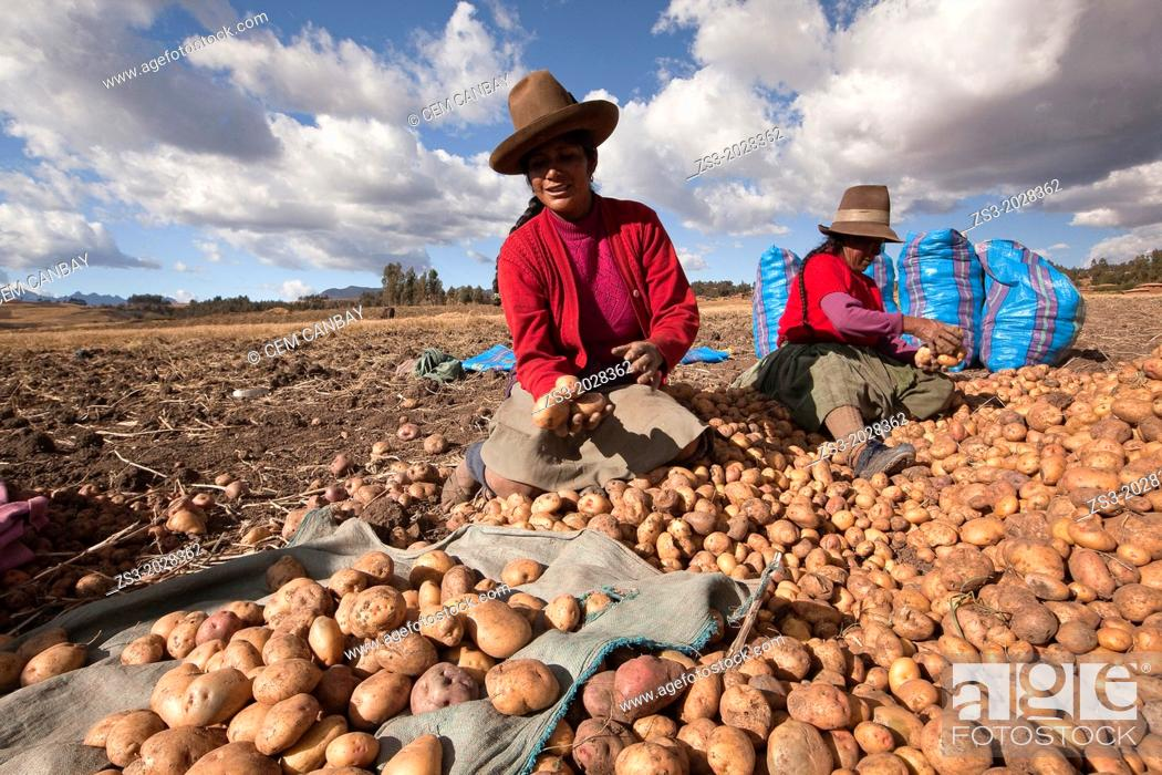 Stock Photo: Indigenous women of Sacred Valley picking up potatoes, Cuzco, Peru, South America.