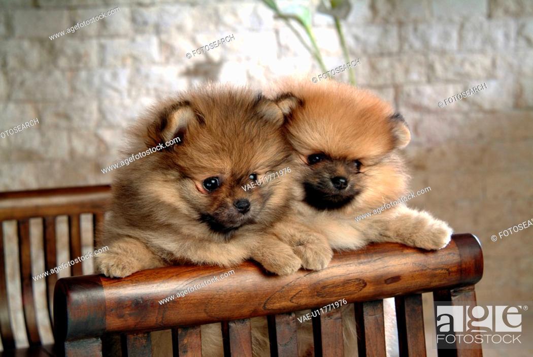 Stock Photo: faithful, domestic animal, companion, canine, close up, pomeranian.