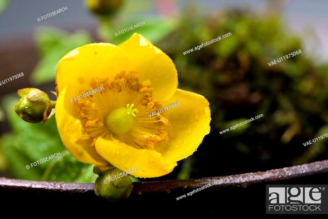 Stock Photo: Hypericum patulum.