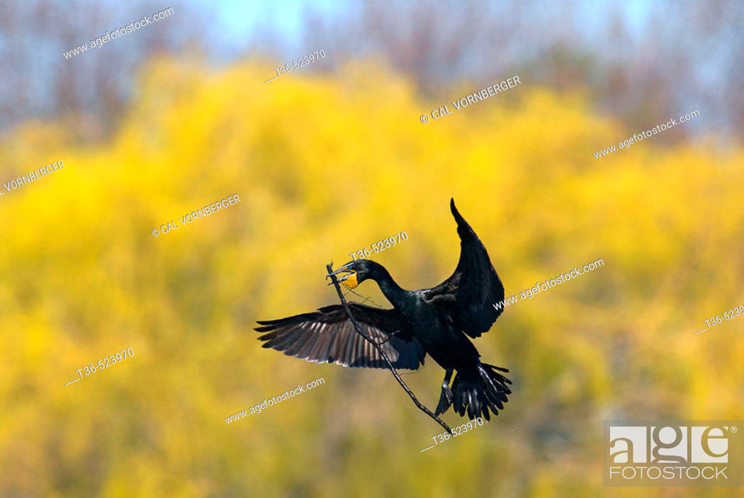 Stock Photo: A Double-crested Cormorant (Phalacrocorax auritus) in flight brings nest material to a nest site on an early spring morning.