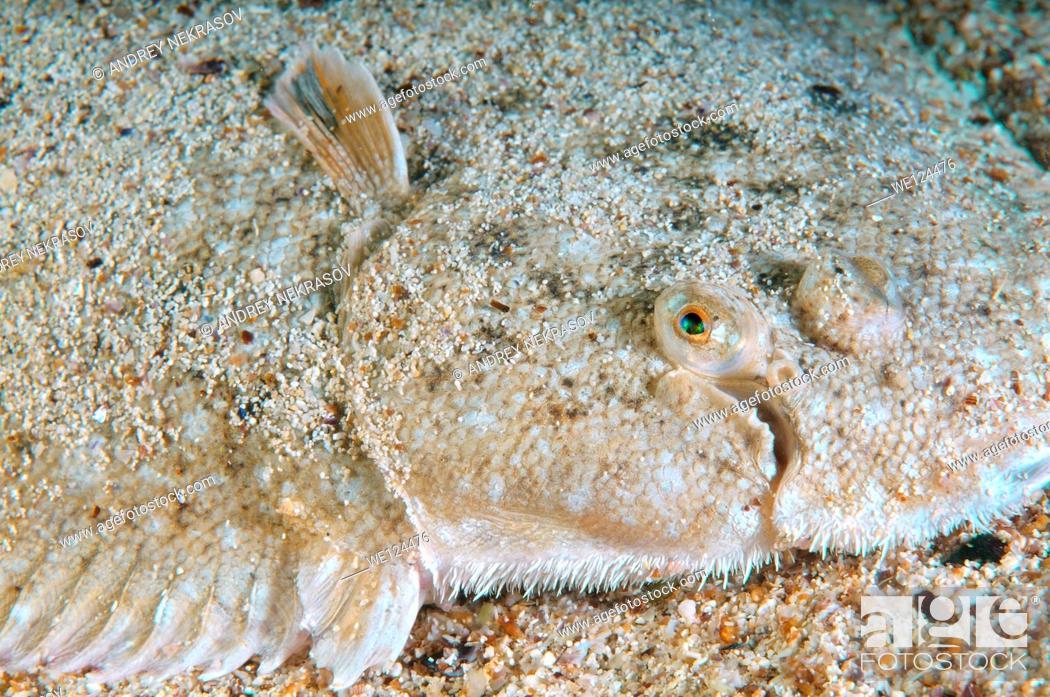 Stock Photo: Snouted sole (Solea lascaris nasuta, Solea nasuta) Black Sea, Crimea, Ukraine, Eastern Europe.