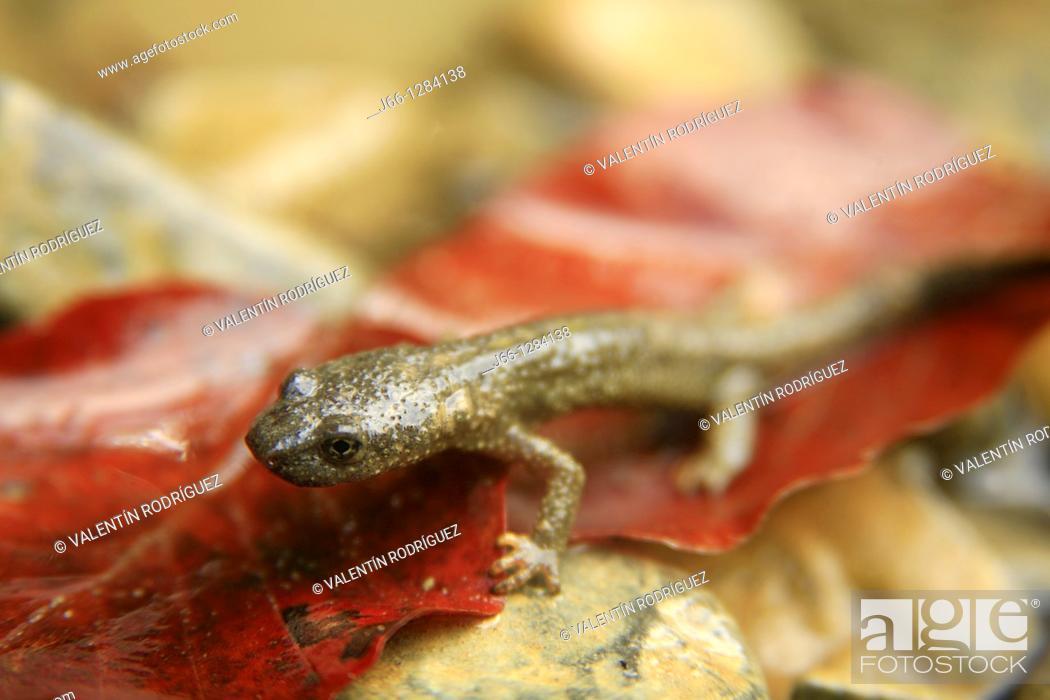 Stock Photo: Pyrenean newt Euproctus asper in the Navarre Pyrenees.