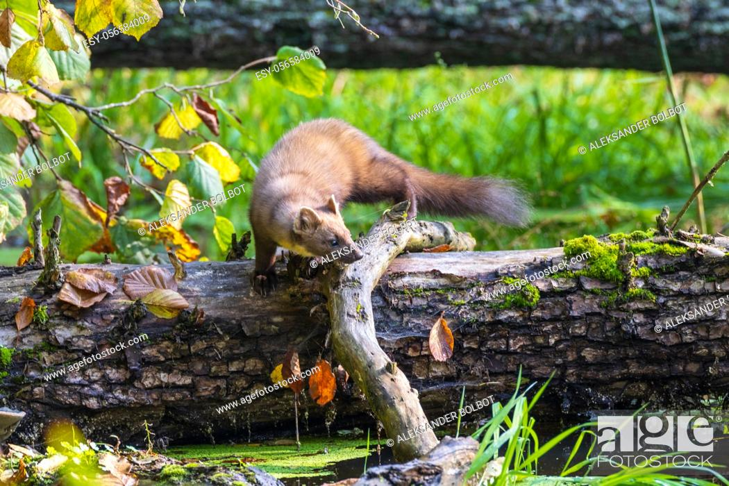 Stock Photo: Pine Marten (Martes martes) close to water with lying tree in background, Bialowieza Forest, Poland, Europe.